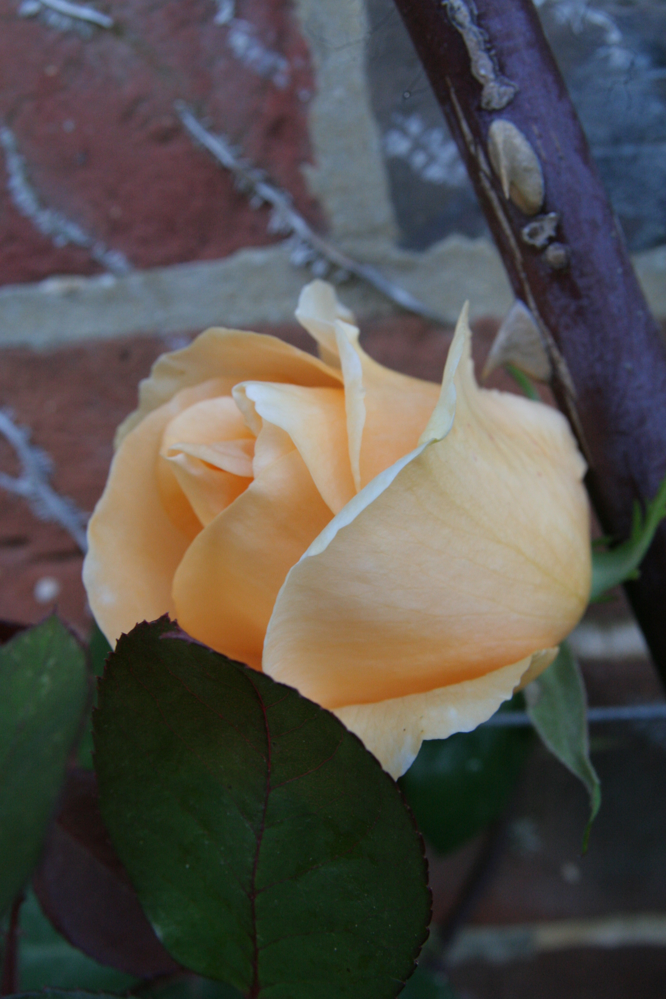 rosa lady hillington3 Rose of the week  Climbing Lady Hillingdon