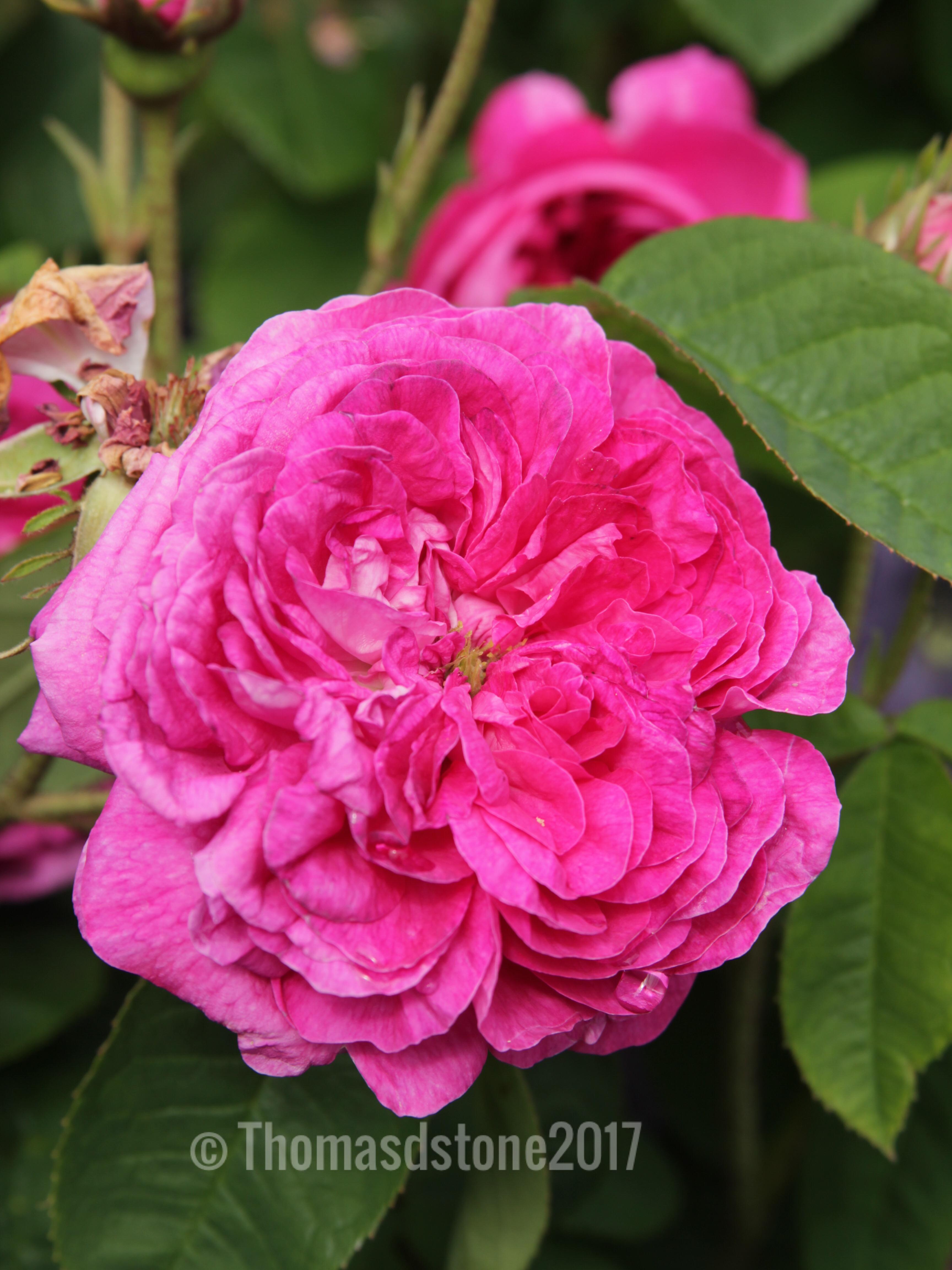 img 0352 Rose of the week  Duchesse de Buccleugh