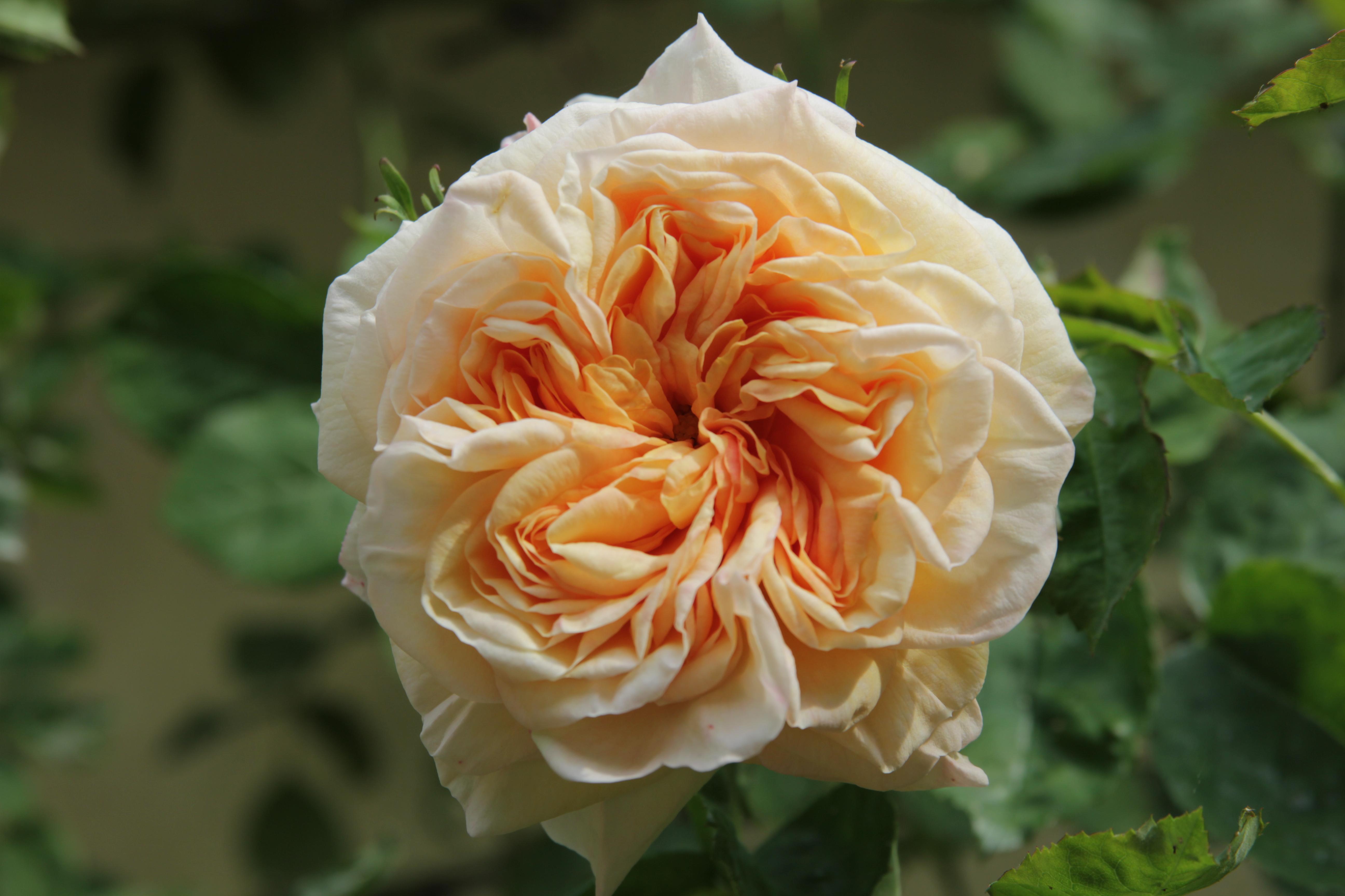 rosa gloire de dijon 3 Rose of the Week   Gloire De Dijon