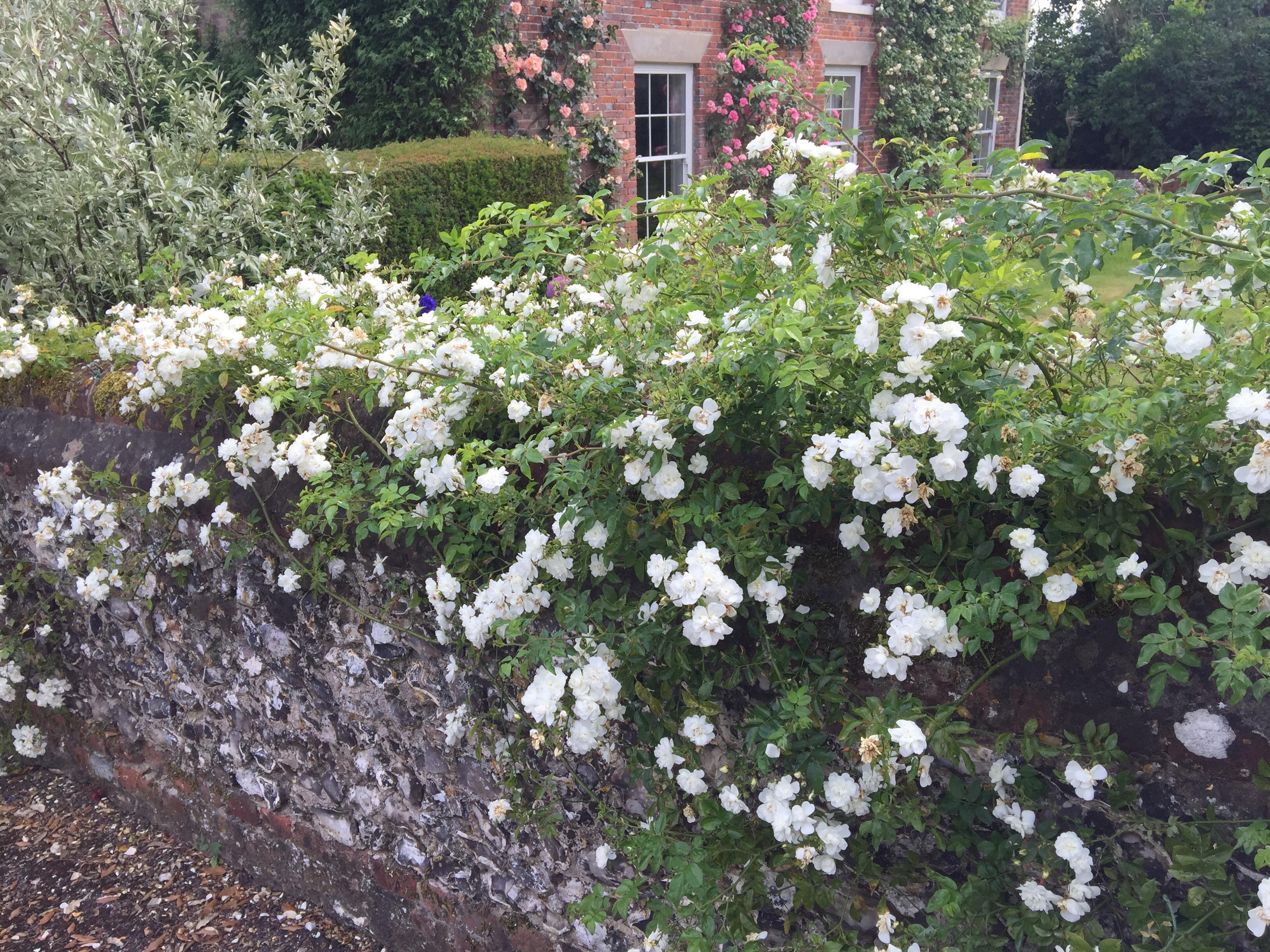 img 2858 Pruning once flowering rambling roses