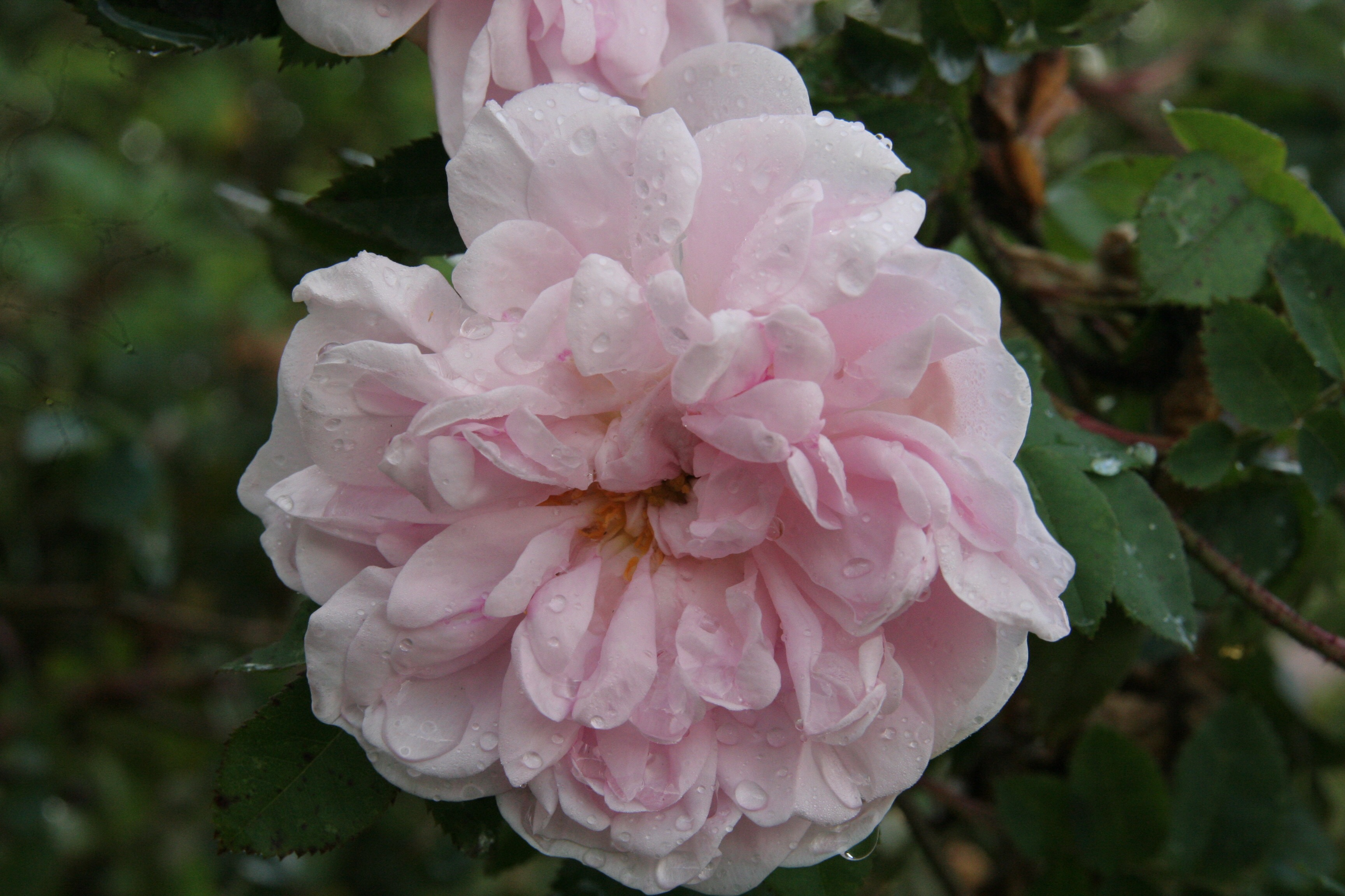 stanwell perpetual Rose of the week  Stanwells perpetual
