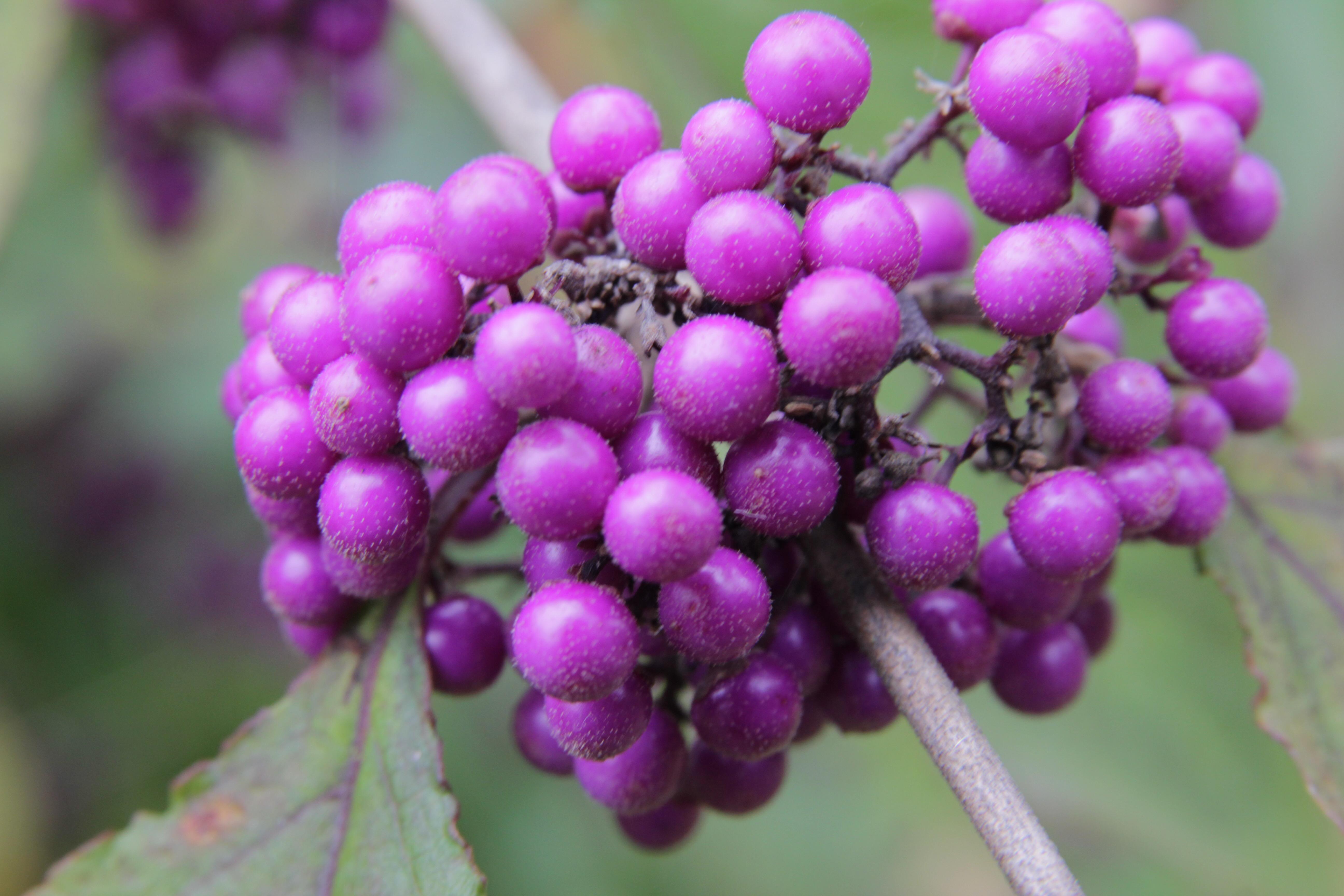 callicarpa bodinieri var giraldii profusion 6 Plant of the week  Callicarpa bodinieri var giraldii ' Profusion'