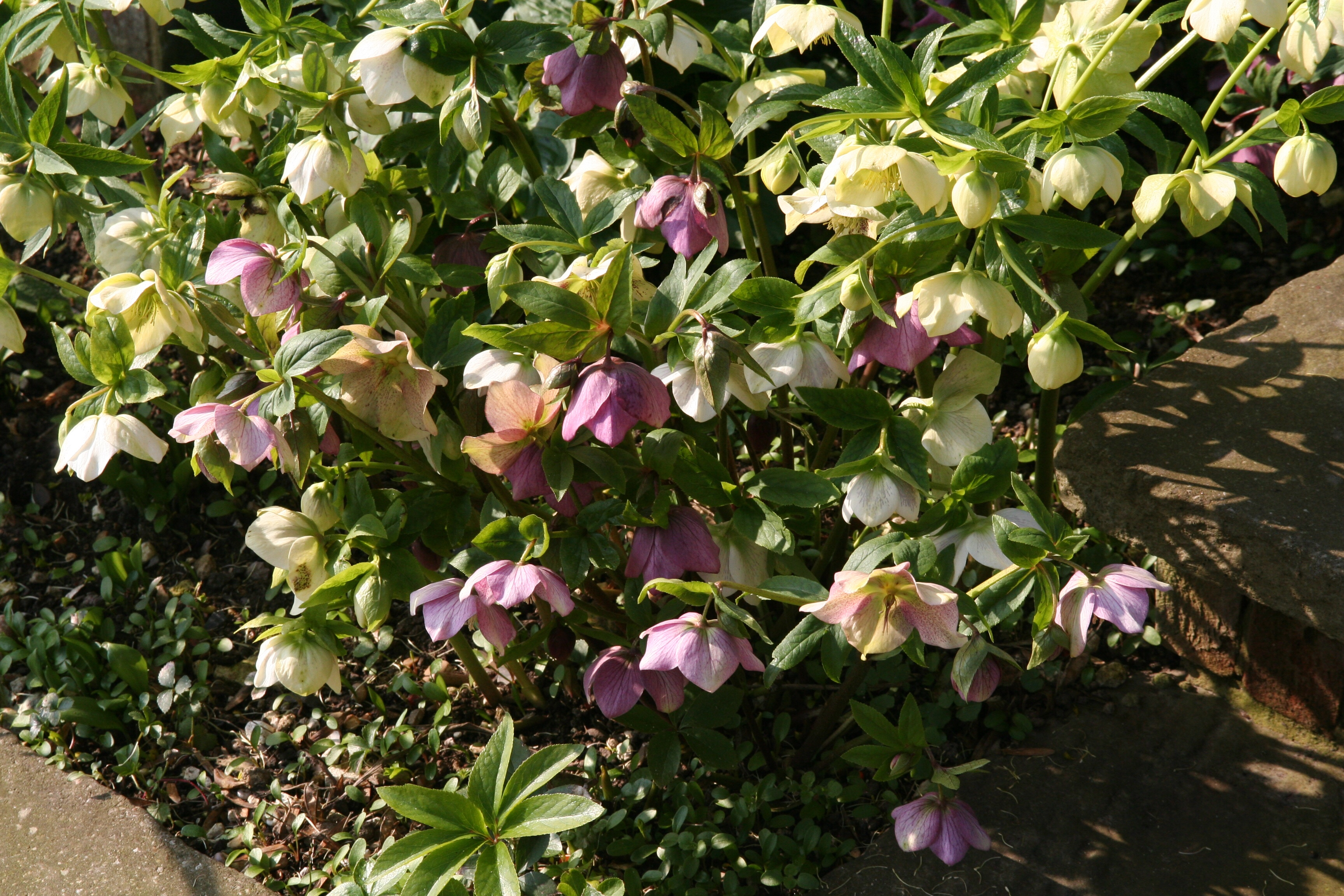 015 Cutting back Hellebores