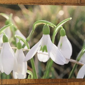 image 1 324x324 Greeting card featuring Galanthus atkinsonii