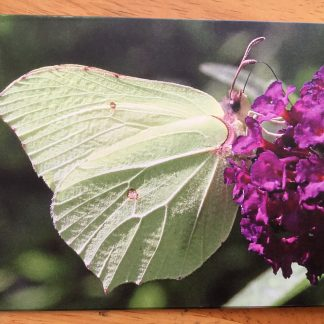 image 324x324 Blank greeting card featuring a Brimstone Butterfly
