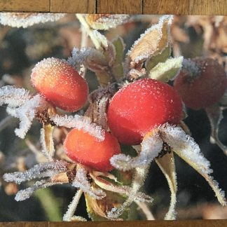 image 5 324x324 Greeting card Rosa rugosa in the frost