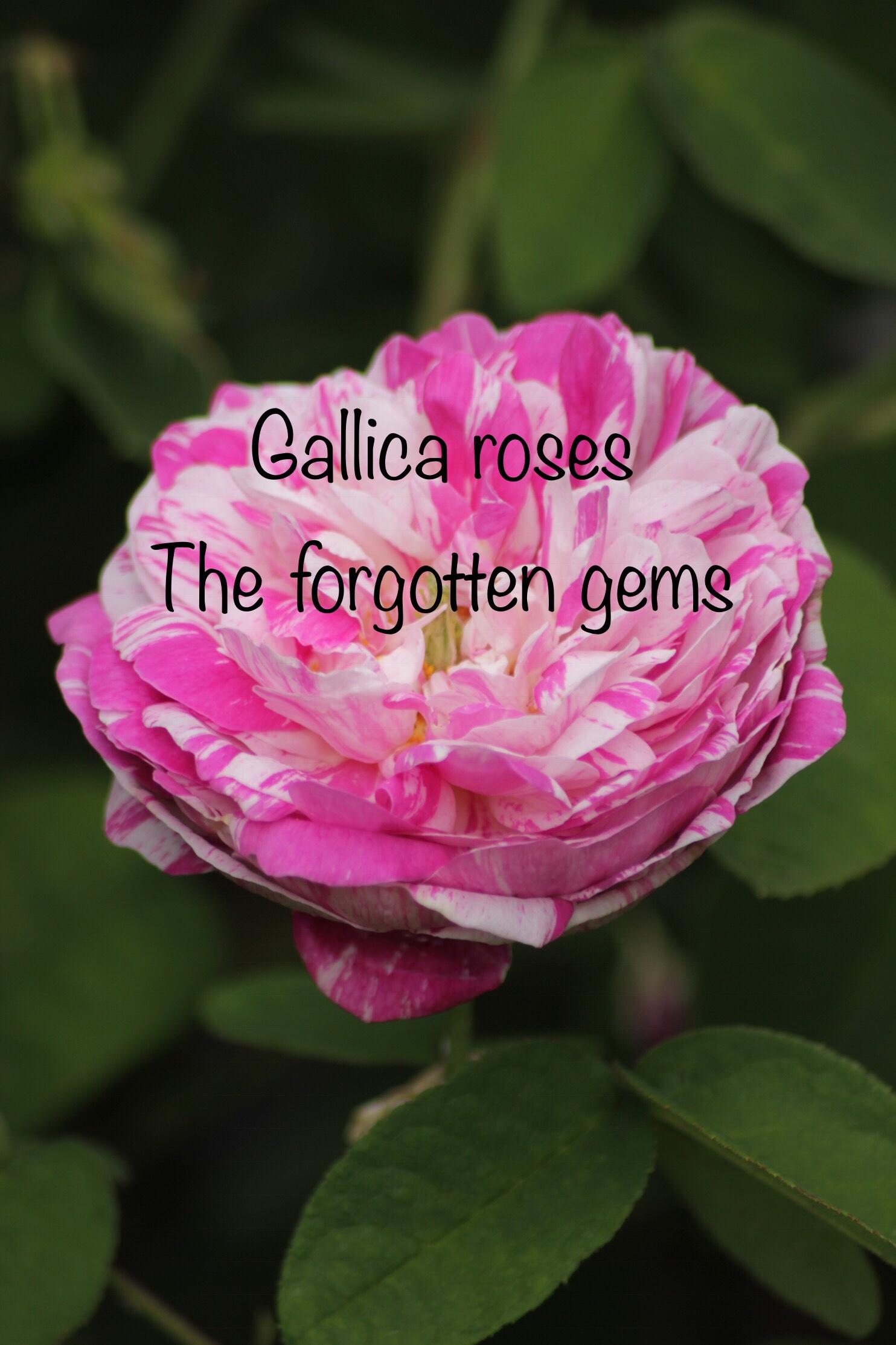 rosa camuyeux 1 Gallica roses, forgotten gems